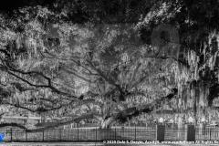 """""""Baranoff Oak at Night 4-27-2019""""  Monochrome"""